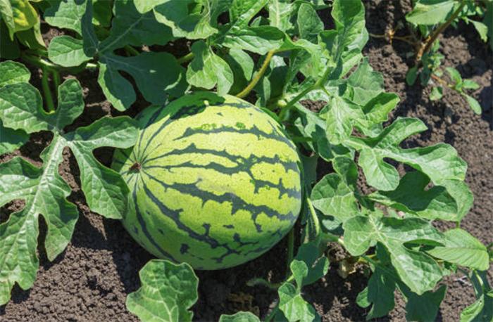 Белорусские арбузы начинают выращивать на промышленной основе