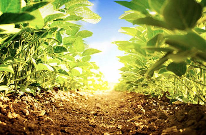 Бразильцы научились увеличивать урожайность сои с помощью бактерий