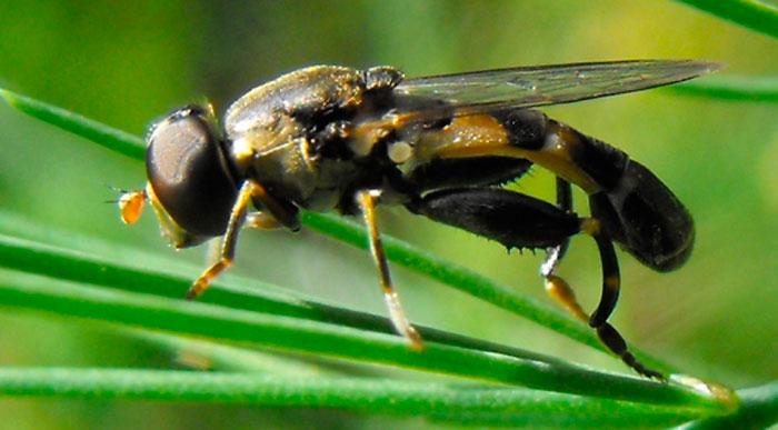 Cпаржевая муха