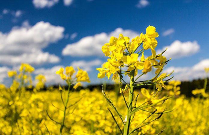 Европа ожидает большой урожай рапса