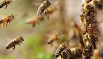 Как осматривать пчёл