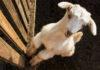 Как вырастить козлят