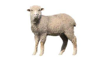 Конституция, экстерьер овец
