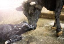 Кормление и содержание новорожденных телят