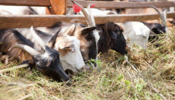 Кормление молочной козы и козлов-производителей