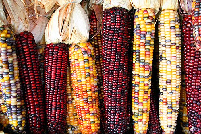 Кукуруза кремнистая (Zea mays indurata)