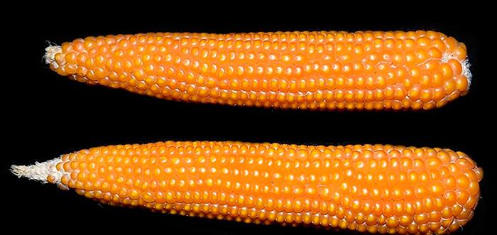 Кукуруза лопающаяся (Zea mays everta)