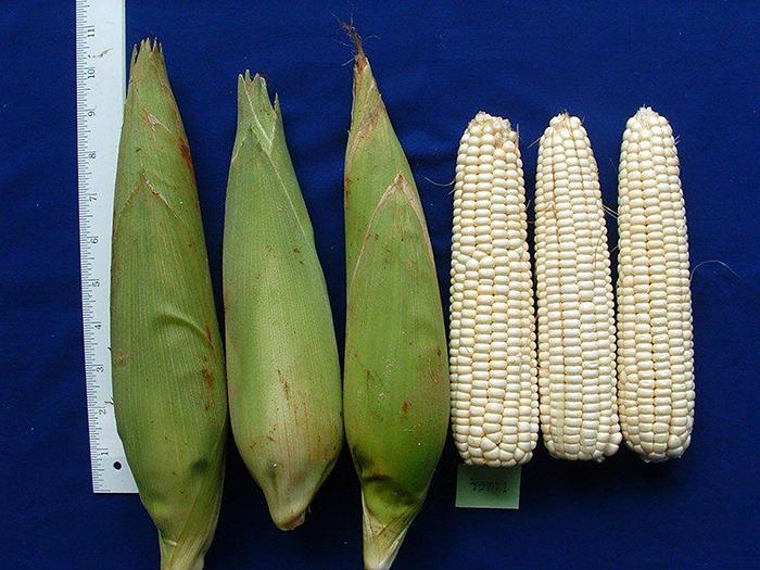 Кукуруза восковидная (Zea mays ceratina)