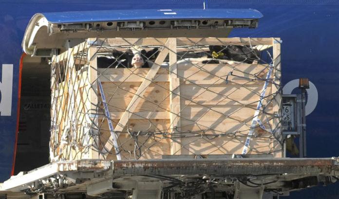 На Сахалин самолетом доставили 200 коров из Венгрии и Голландии