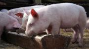 Новые вспышки АЧС вызвали панику на свиноводческих фермах Китая
