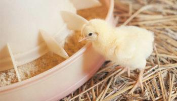 Особенности кормления цыплят яичных пород