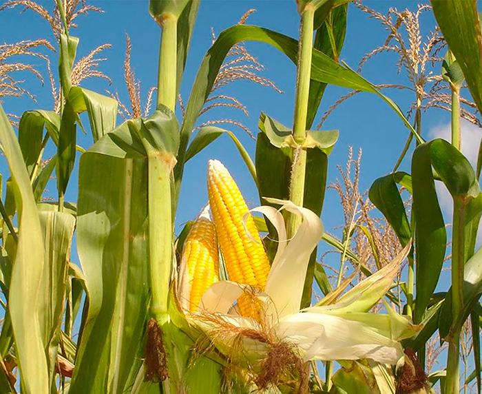 Особенности кукурузы