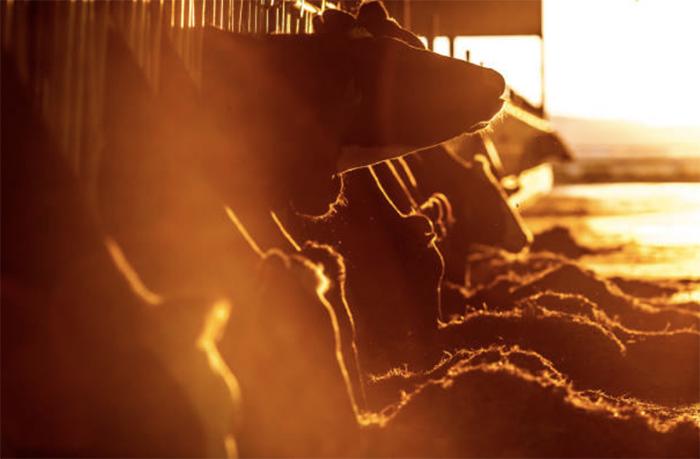 Особенности осеменения коров и телок на промышленных комплексах