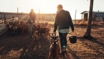Пастбищно-стойловое содержание коз