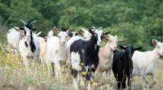 Пастбищное содержание коз