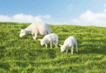 Племенная работа с овцами