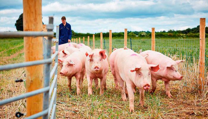 Почти 80 фермеров Ленобласти отказались от содержания свиней из-за АЧС