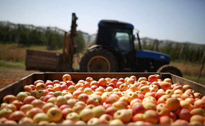 Россельхознадзор запретил поставки яблок и груш из Белоруссии