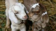 Рождение козлят