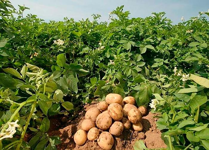 Сидераты для картофеля