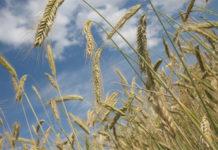 Урожай пшеницы в китайской провинции Аньхой пострадал из-за грибковой инфекции