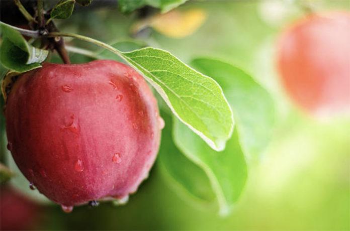 В ЕС запасы яблок находятся на рекордном за последние 12 лет уровне