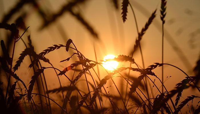 В Литве фермеры задумались о выращивании модифицированных культур 🇱🇹