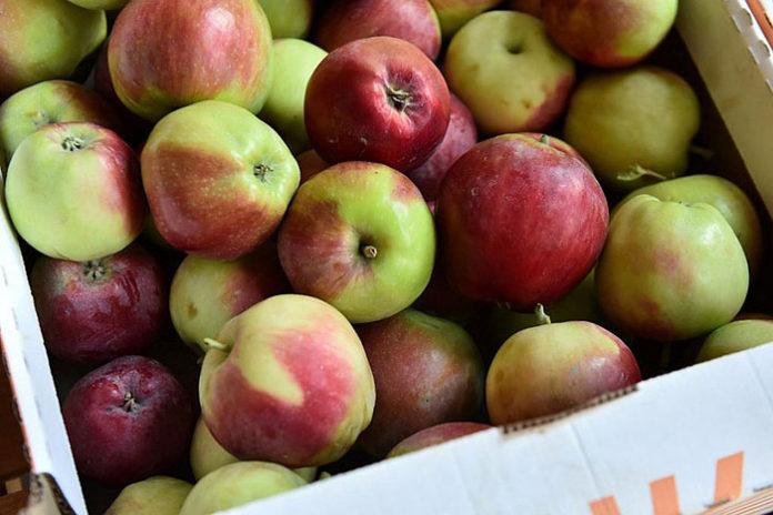В России запатентовано географическое наименование «Кубанские яблоки»
