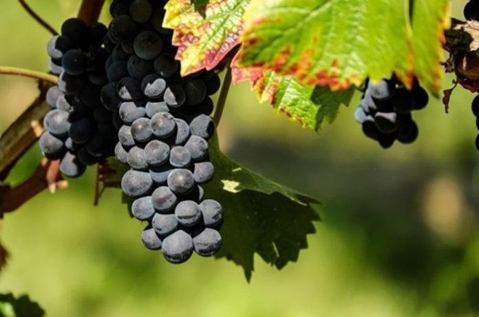 В Севастополе установят «виноградный рекорд»