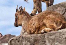 В зоопарке Красноярска посетители закормили козла до смерти