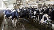 Вьетнамская компания строит молочную ферму под Калугой