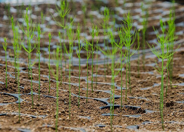 Выращивание спаржи из семян
