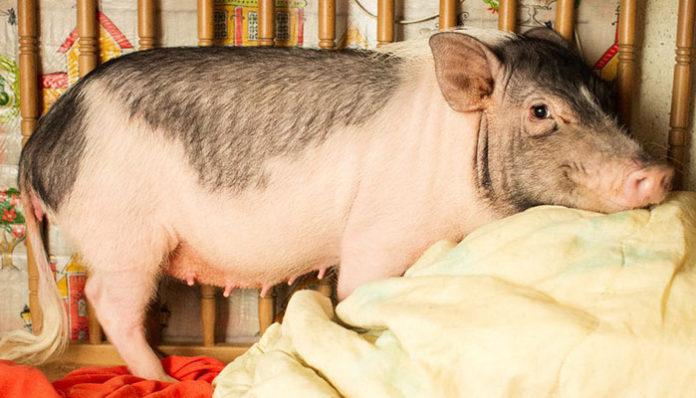 Женщину осудили за убийство домашней свиньи