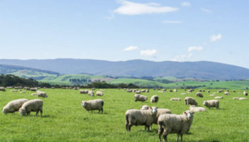 Гибридизация овец