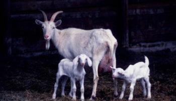 Как организовать кормление козы после козления (окота)?