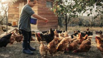 Как содержать кур-несушек в домашних условиях, правильно кормить и ухаживать за ними?