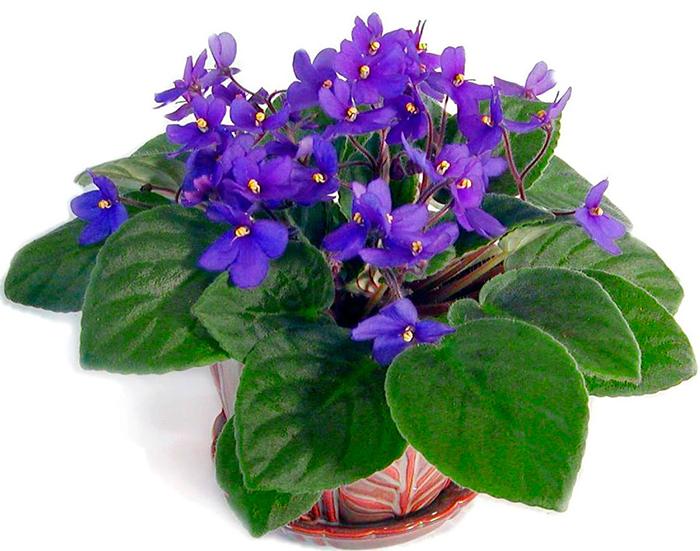 Сенполия фиалкоцветковая, или Сенполия фиалкоцветная (Saintpaulia ionantha)