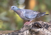 Туберкулез голубей