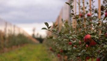 В Красногвардейском районе Ставрополья впервые заложили 10 га суперинтенсивного сада