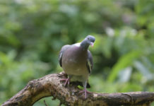 Заразный насморк у голубей