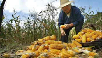 В Китае распространяется страшный вредитель кукурузы