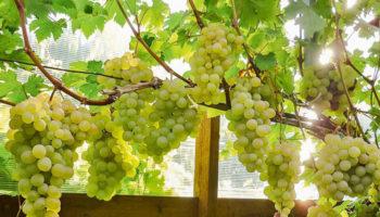 5 самых главных ошибок при выращивании винограда