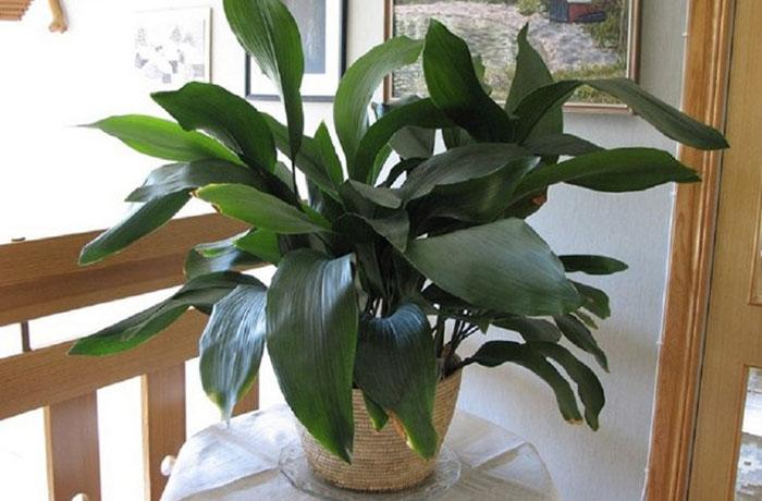 Аспидистра (Чугунное растение)