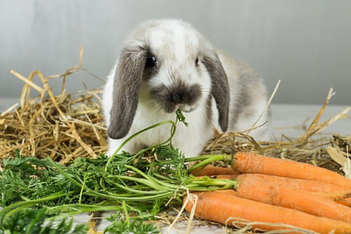 Азбука кормления декоративных кроликов