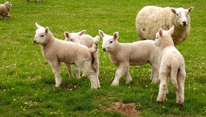 Биологические основы воспроизводства овец