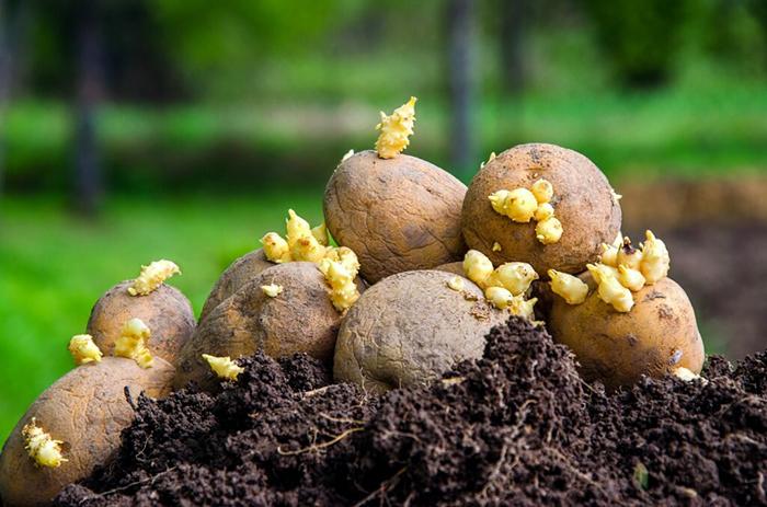 Благоприятные сроки посадки картофеля в апреле 2019 года