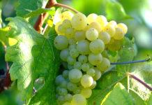 Боремся с болезнями винограда