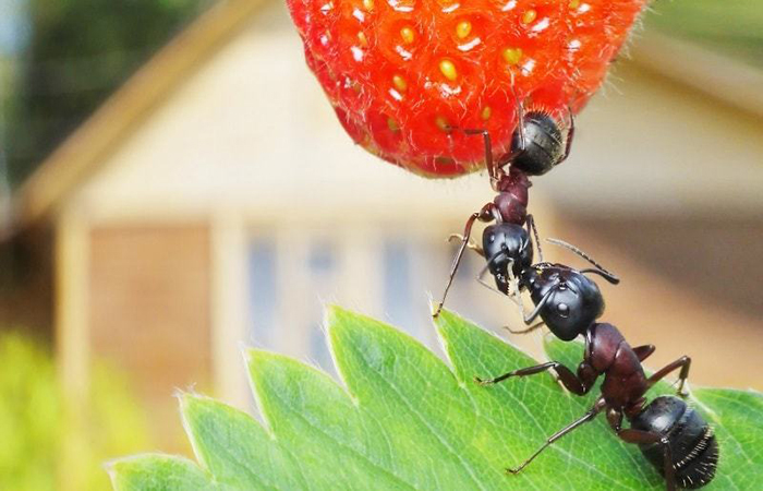 Четыре эффективных способа борьбы с садовыми муравьями
