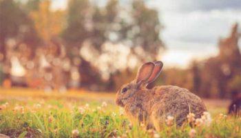 Что необходимо знать при подборе самца кролика для воспроизводства