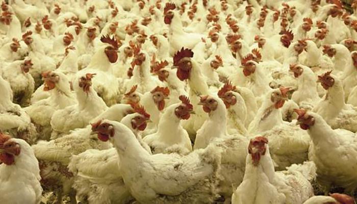 Что внутри курицы кроме самой курицы нам продают